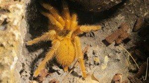 enverinats exhibition tarantula