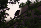 bird in tree at dawn