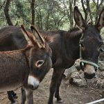 The Catalan donkey: a symbol of Catalan culture