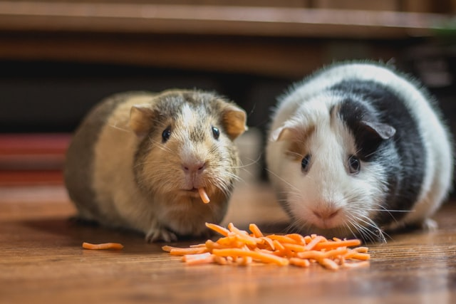 two guinea pigs eating a snack