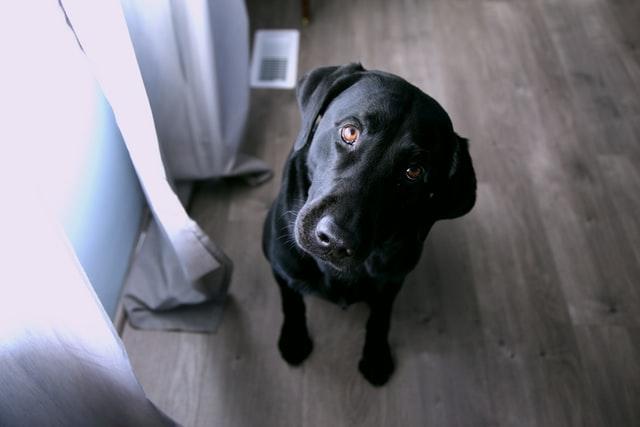 black dog in apartment