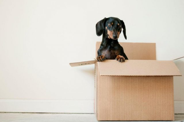 dog in moving box - tips for renting an apartment
